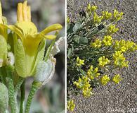Physaria geyeri