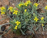 Physaria intermedia