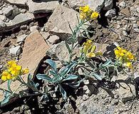 Physaria parviflora