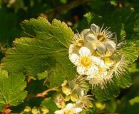 Physocarpus malvaceus