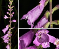 Physostegia purpurea