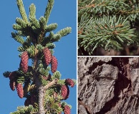 Picea engelmannii