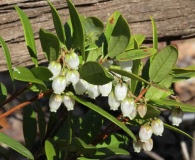 Pieris phillyreifolia