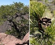 Pinus cembroides