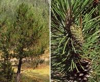 Pinus contorta
