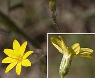 Pityopsis aspera