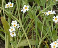 Plagiobothrys chorisianus
