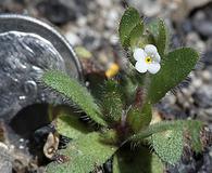 Plagiobothrys torreyi
