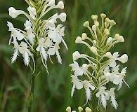 Platanthera blephariglottis
