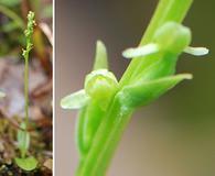 Platanthera chorisiana