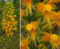 Platanthera cristata