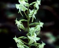 Platanthera macrophylla