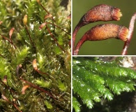 Platyhypnidium riparioides