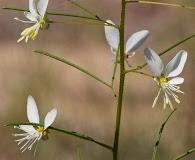 Polanisia tenuifolia