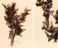 Polyostea bipinnata