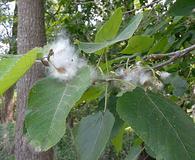 Populus heterophylla
