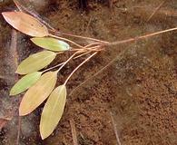 Potamogeton epihydrus