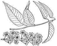Prunus hortulana