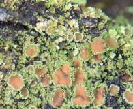 Psoroma hypnorum