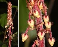 Pterospora andromedea