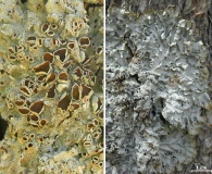 Punctelia hypoleucites