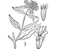 Pycnanthemum clinopodioides