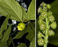 Pyrularia pubera