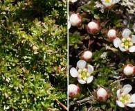 Pyxidanthera barbulata