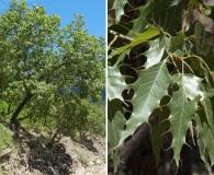 Quercus albocincta