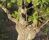 Quercus jonesii