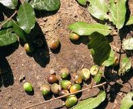 Quercus laurina