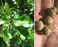 Quercus margarettae