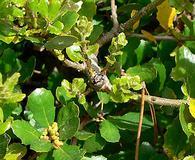 Quercus pacifica