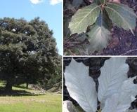 Quercus sideroxyla