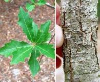 Quercus sinuata