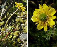 Ranunculus gmelinii