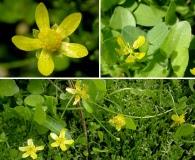 Ranunculus gormanii
