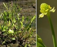 Ranunculus pusillus