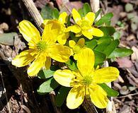 Ranunculus pygmaeus