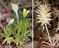 Ranunculus testiculatus
