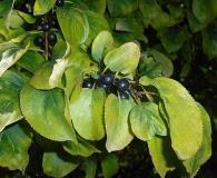 Rhamnus davurica