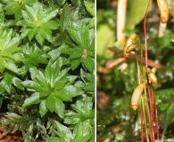 Rhodobryum roseum