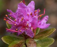 Rhododendron lapponicum