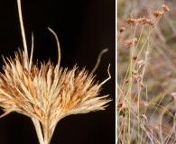 Rhynchospora chapmanii