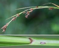 Rhynchospora glomerata