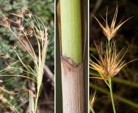 Rhynchospora macrostachya