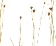 Rhynchospora pineticola