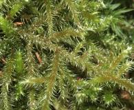 Rhytidiadelphus loreus
