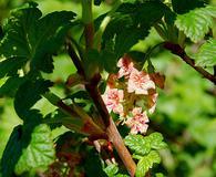 Ribes acerifolium
