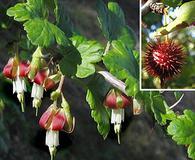 Ribes californicum